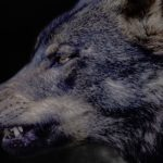 Демон, Волк Крайнего Севера.