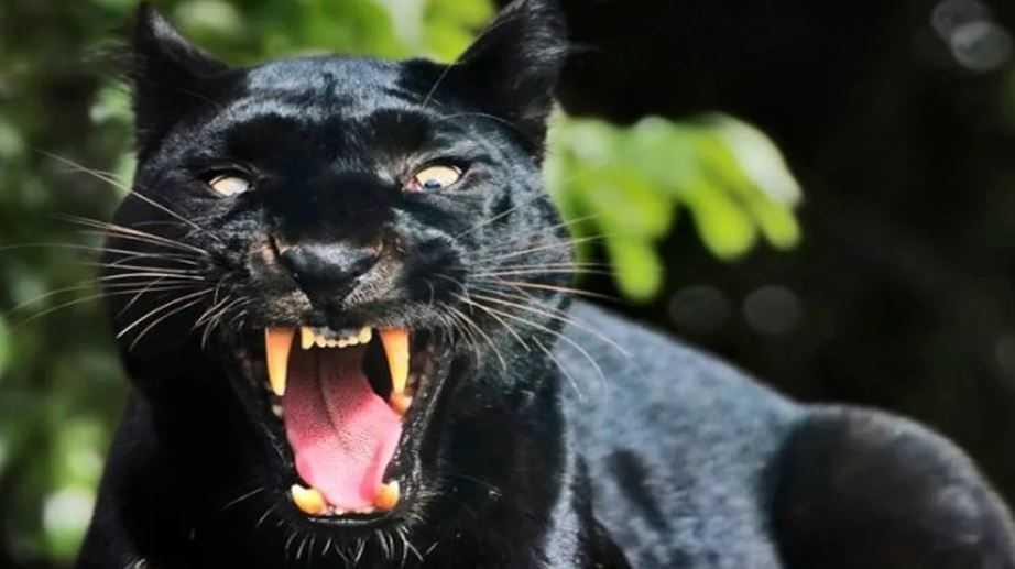 Аномальное количество больших кошек видят по всей Великобритании.