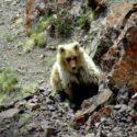На горе заметили вымершего белокурого медведя.