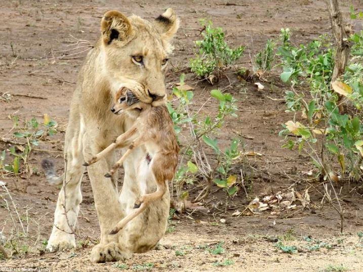 Львица заботится о детеныше антилопы. фото:   Givepaw.ru
