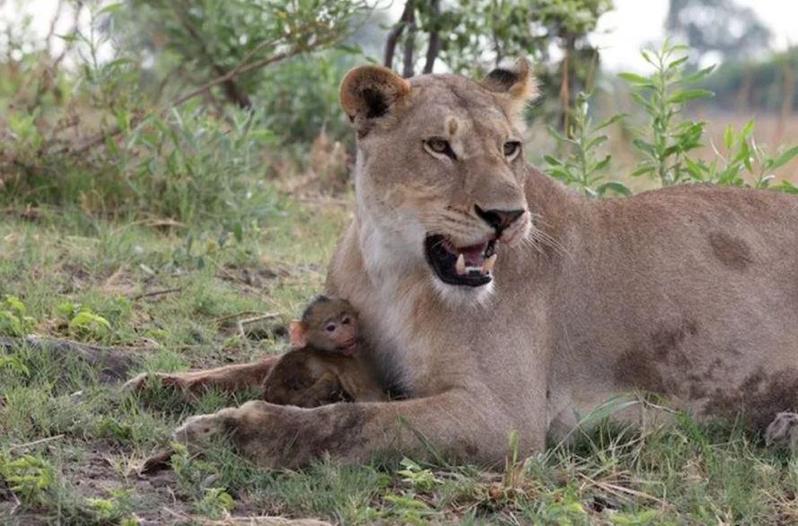 Эта львица проявила заботу к малышу мать которого убила. фото:   Handf.mirtesen.ru