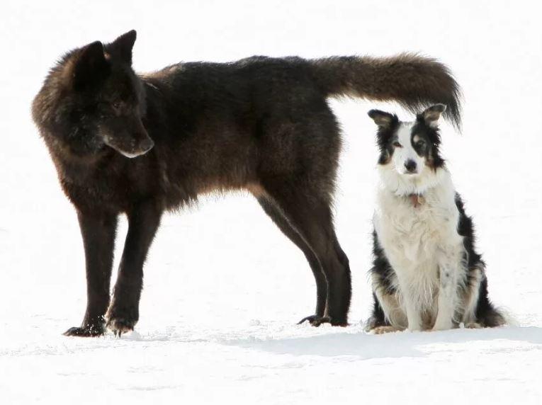 Волк не проявляет никаких признаков агрессии. фото:  Zen.yandex.ru