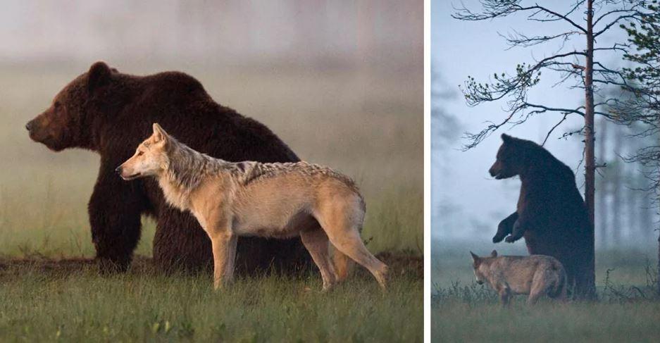 Волк и бурый медведь - друзья. фото:  Watchingromeburn.uk