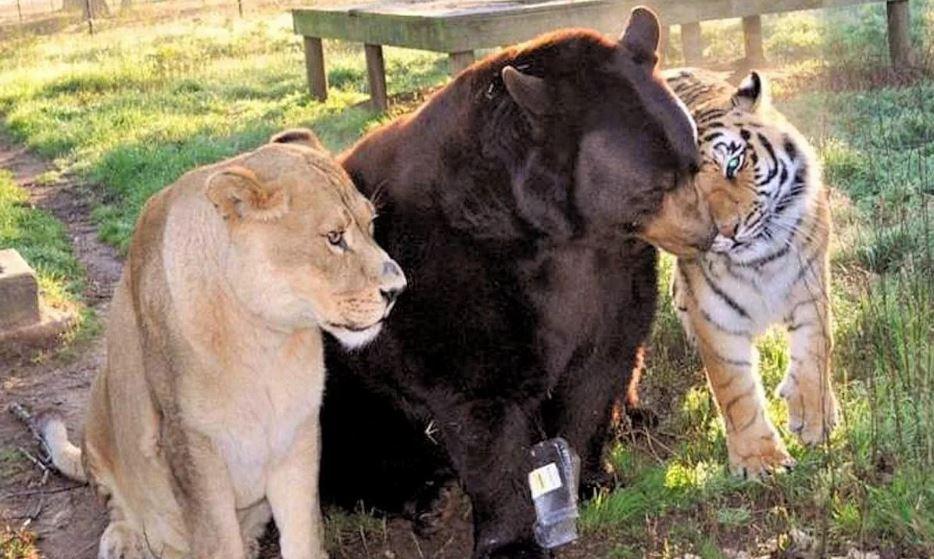 Невероятная дружба льва, тигра и медведя. фото:  Us.makemefeed.com