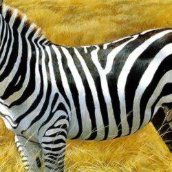 Полоски для зебры – необходимое приобретение.