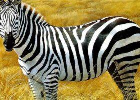 Полоски для зебры — необходимое приобретение.