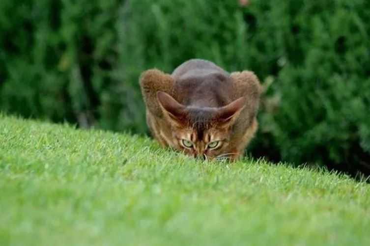 Почему кошки шевелят задом, прежде чем прыгнуть?