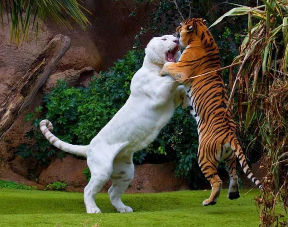 Самая большая кошка.