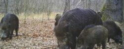 Чернобыль превращает германских кабанов в годзилл?