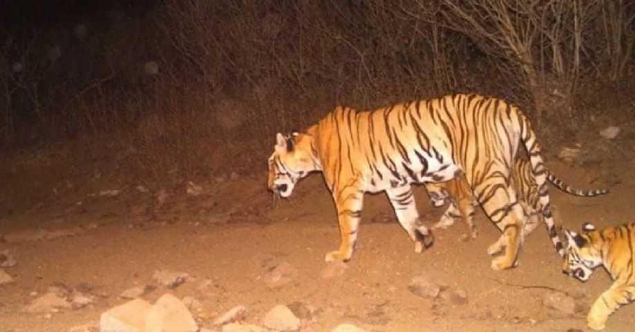 Индийские домашние животные подвергаются нападению неизвестного хищника.