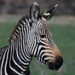 Полоски для зебры - необходимое приобретение.