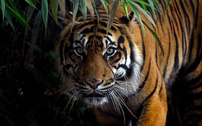 Амурский(сибирский) тигр