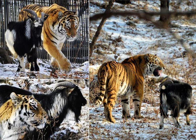Дружба хищника и добычи. фото:  Infotolium.com