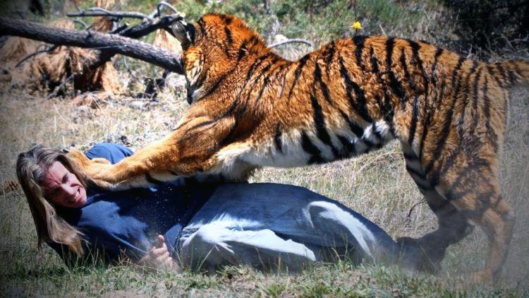 Нападение тигра.