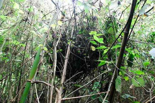 Гнездо гориллы.