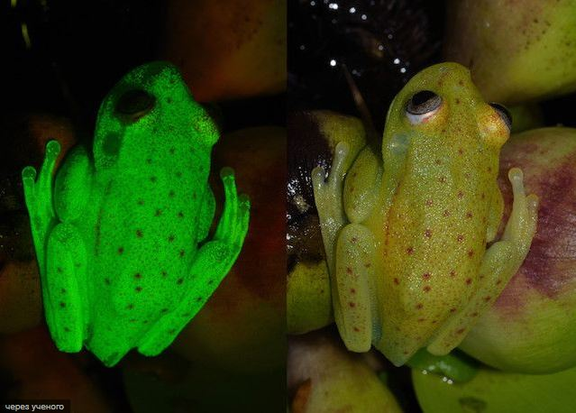 Флуоресцентная лягушка Аргентины.
