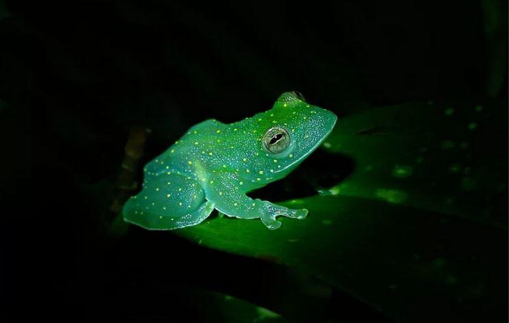 Флуоресцентная лягушка Мексики.