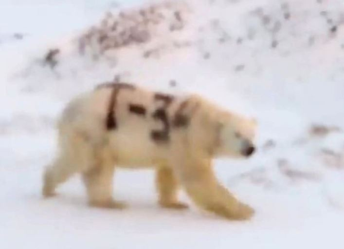 Российские ученые выясняют, кто написал Т-34 на белом медведе. фото:  Scoopnest.com