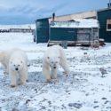 Белый медведь, с надписью 'T-34', попал на видео.