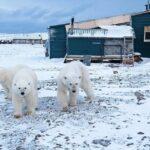 Белые медведи в поселке