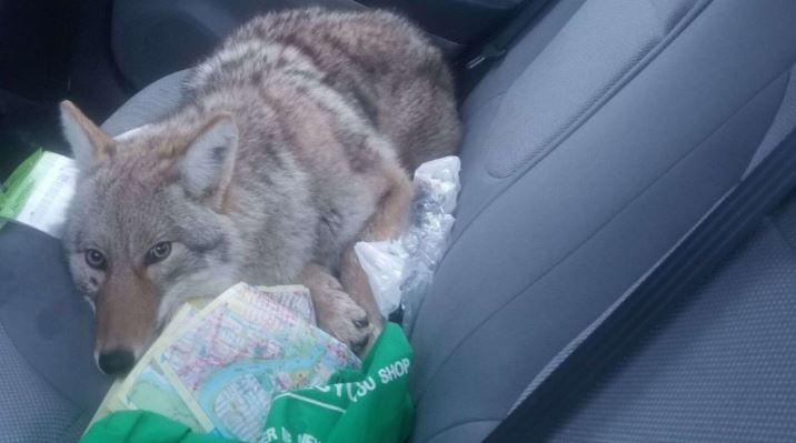 Животное, которого Эли Бородицкий сбил своей машиной, было койотом, а не собакой, как он думал.