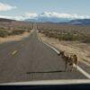 Житель Канады сбил «собаку» на канадском шоссе, не понимая, что это койот.