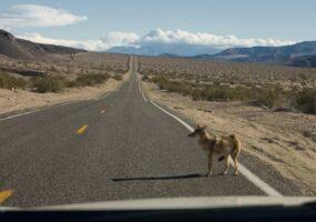 """Житель Канады сбил """"собаку"""" на канадском шоссе, не понимая, что это койот."""