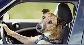 Во Флориде собака ездила час в машине задним ходом. фото: yandex.by