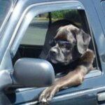 Серьёзный пёс за рулем.