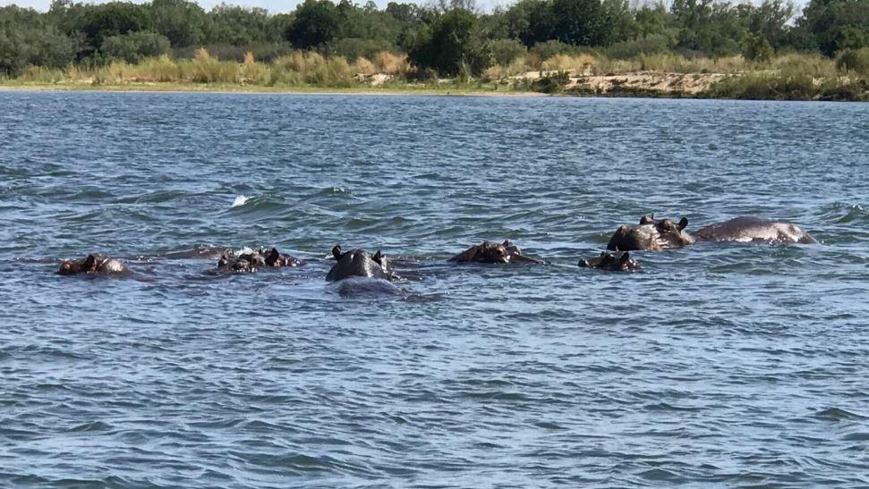 Бегемоты становятся все более распространенным явлением в Замбии из-за засух, вызванных изменением климата. фото: https://news.sky.com