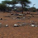 Изменение климата: слоны убивают и ранят людей из-за жажды.