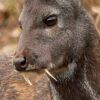 Во Вьетнаме вновь обнаружен клыкастый олень.