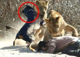 Собаки, которые рисковали своими жизнями
