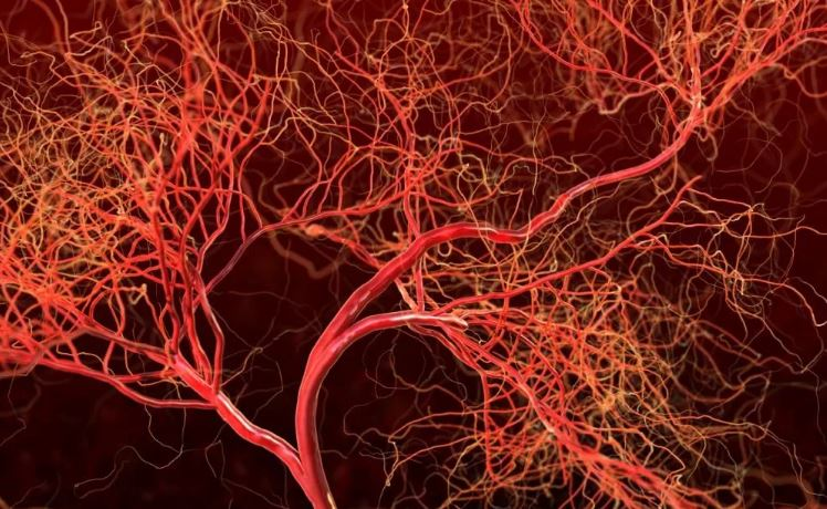 Кровеносные сосуды человека.