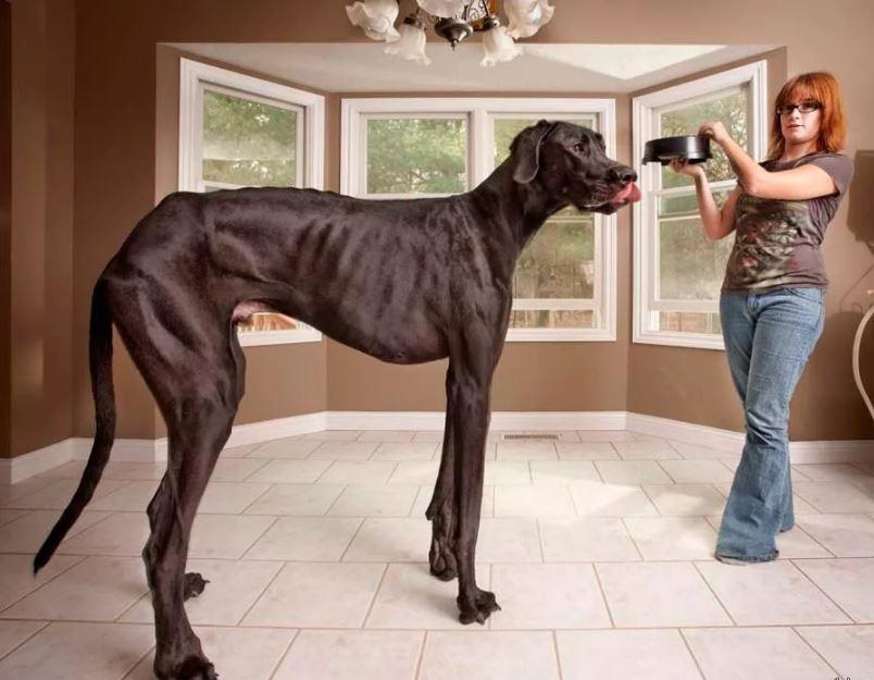 Самая высокая из живущих собак.