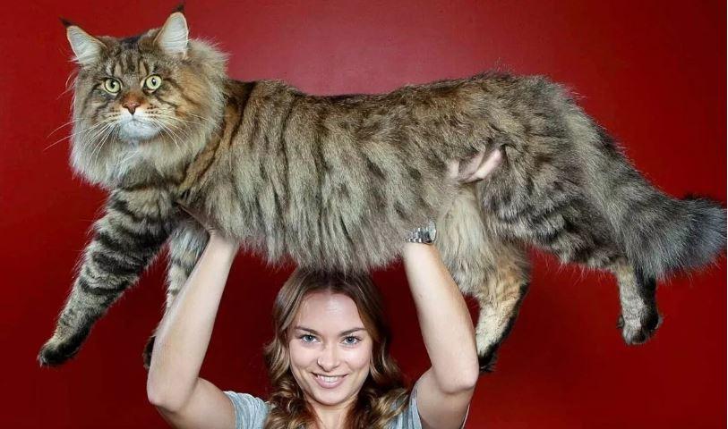 Самый большой домашний кот в мире.