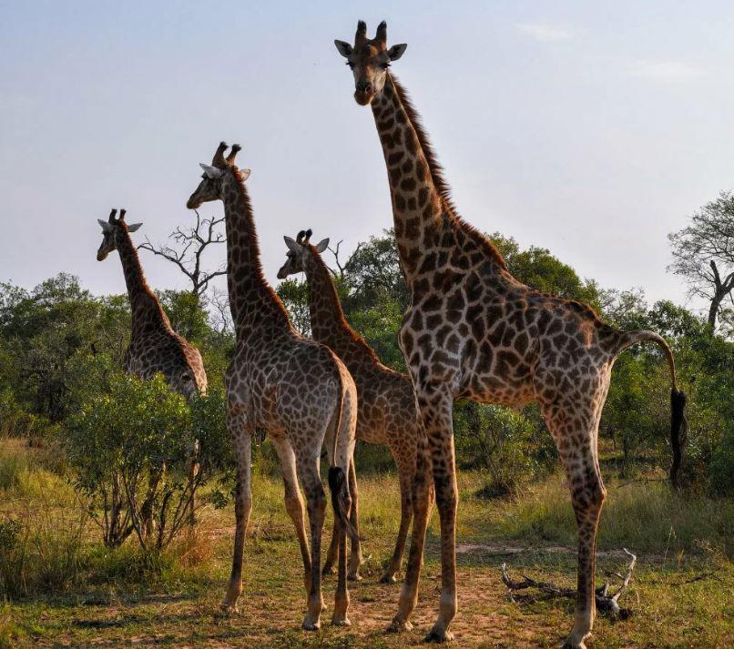 Самый высокий жираф - Джорж.
