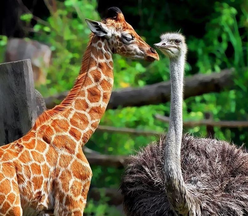 Самая крупная птица - страус.