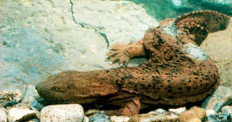 Исполинская, гигантская саламандра.