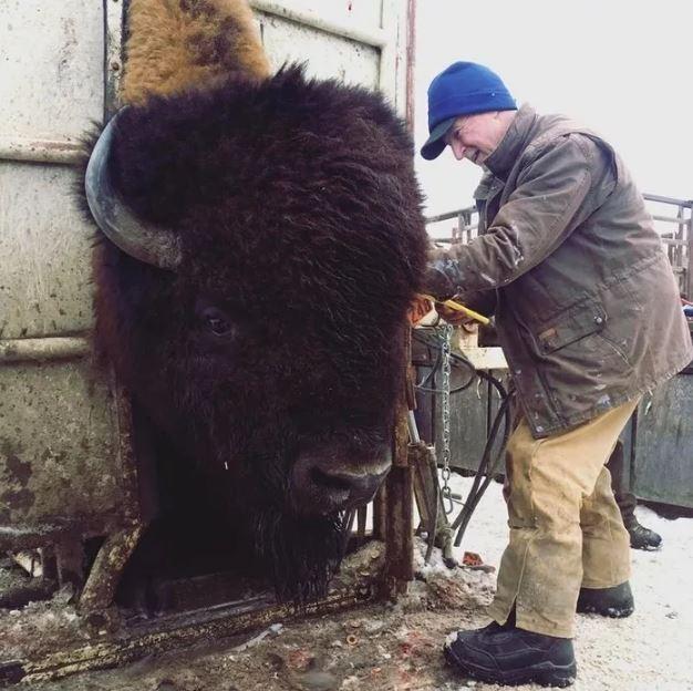 Биркование бизона.