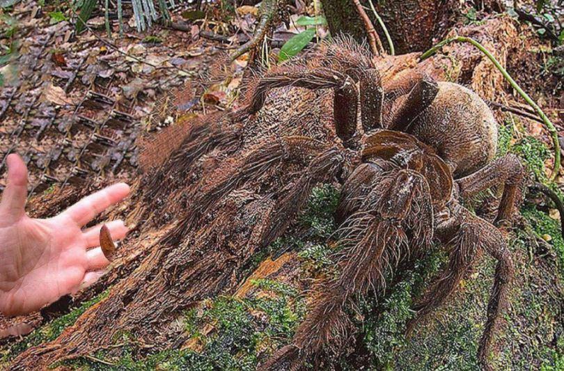 Самый страшный и крупный паук в мире.