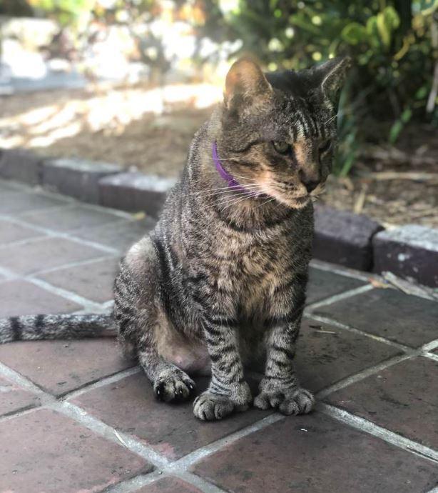 Шестипалые кошки:Типичный, полидактильный обитатель дома-музея в Ки-Уэсте.