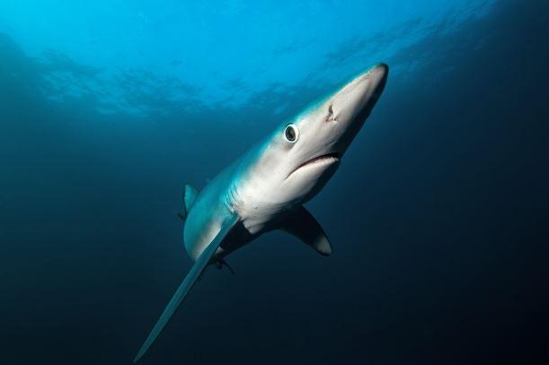 Некоторые акулы могут распознать кровь на расстоянии в четверть мили.