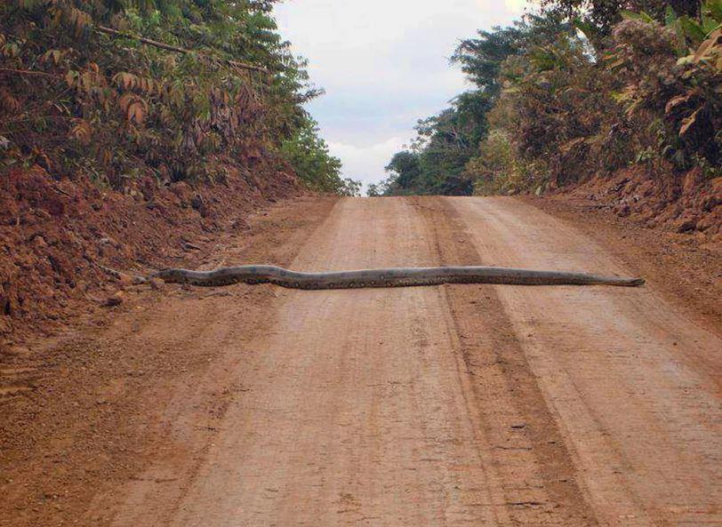 Змея блокировала движение, и у него не было другого выбора, кроме как физически убрать её с дороги.