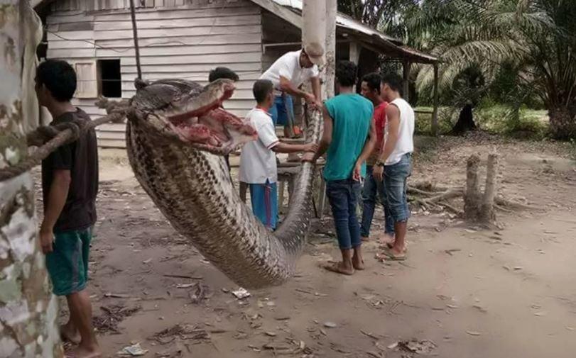 В Индонезии убили огромного питона, который пытался задушить человека.