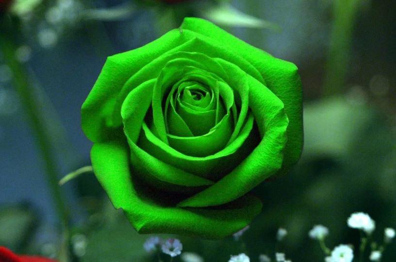 Зелёная роза.