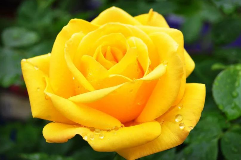 Жёлтая роза.