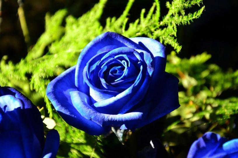 Синяя роза.