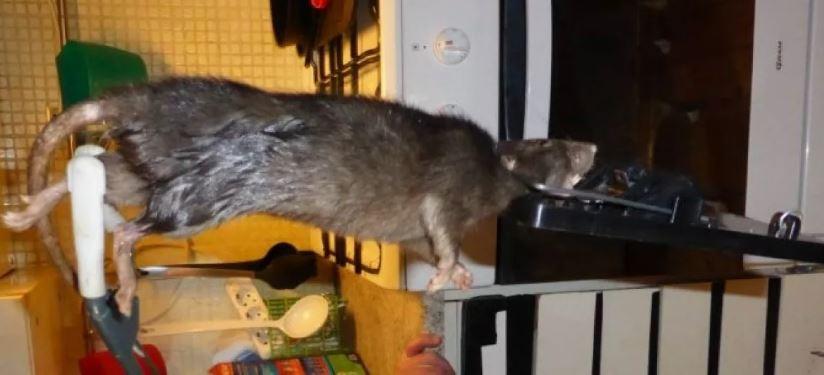 В,Швеции,поймали,гигантскую,крысу.