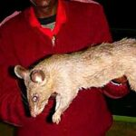 Могут ли крысы напасть на человека?
